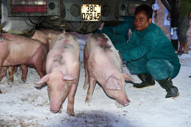 Lô heo 500 con đầu tiên nhập khẩu từ Thái Lan về Việt Nam