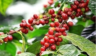 Giá cà phê hôm nay ngày 21/6: Trong nước giảm sâu gần 1.000 đồng/kg tuần qua