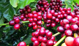 Giá cà phê hôm nay ngày 23/6: Trong nước khởi sắc, thế giới tăng mạnh