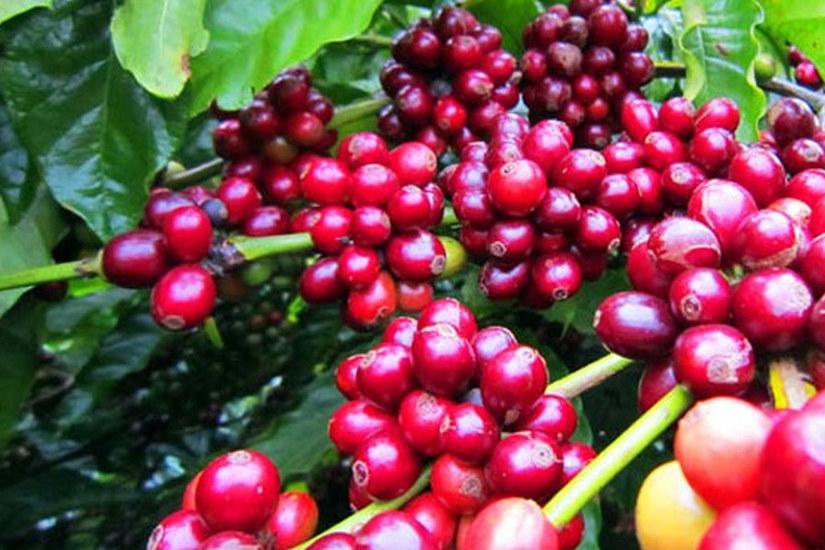 Giá cà phê hôm nay ngày 23/6, trong nước khởi sắc, thế giới tăng mạnh