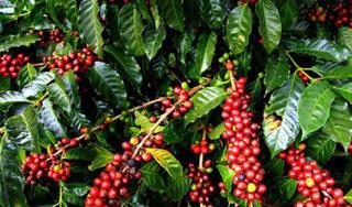 Giá cà phê hôm nay ngày 25/6: Trong nước đi ngang, thế giới giảm mạnh