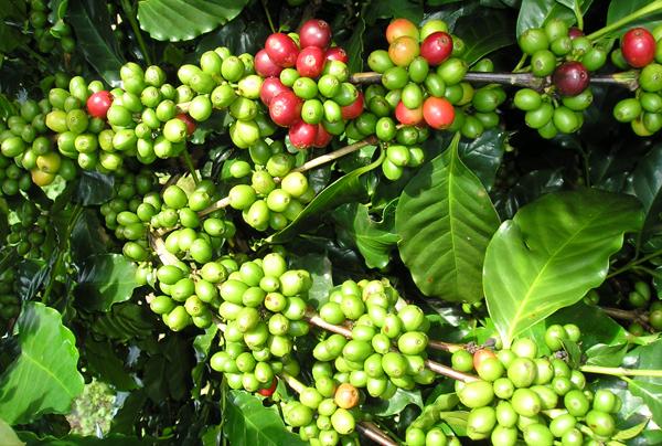Giá cà phê hôm nay ngày 26/6: Đồng loạt giảm trên cả nước