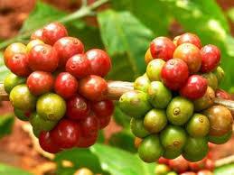 Giá cà phê hôm nay ngày 29/6: Tăng trở lại sau nhiều phiên giảm