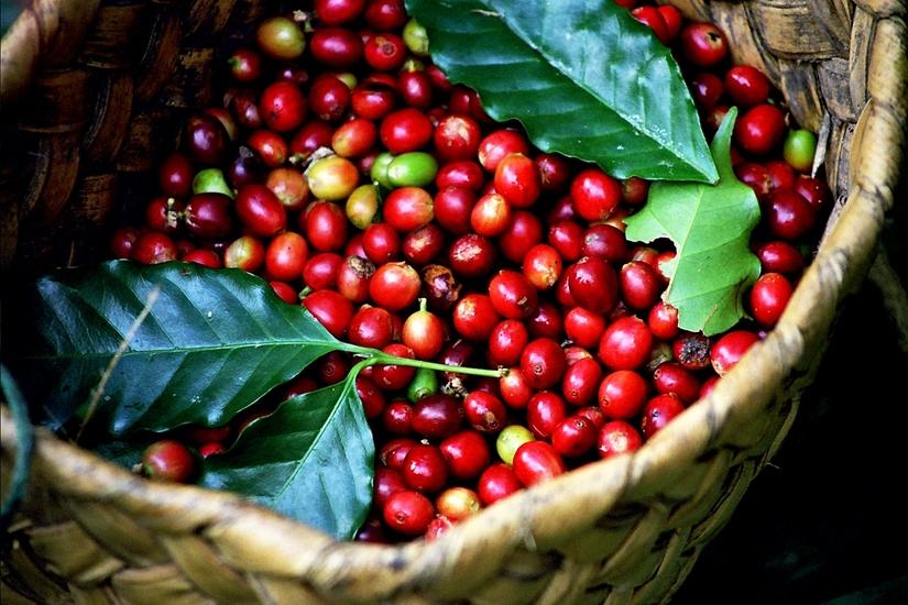 Giá cà phê hôm nay ngày 30/6: Trong nước tăng mạnh, thế giới đi ngang