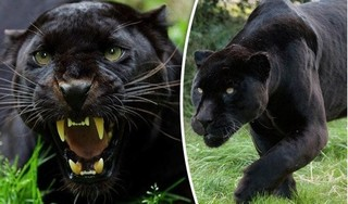 Sự thật về thông tin xuất hiện hai con báo đen ở Đồng Nai