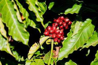 Giá cà phê hôm nay ngày 2/7: Tăng vững trên thị trường trong và ngoài nước