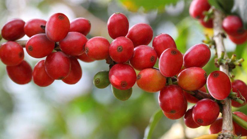 Giá cà phê hôm nay ngày 3/7: Thế giới giảm nhẹ tại London