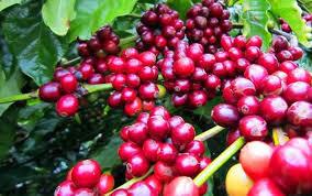 Giá cà phê hôm nay ngày 4/7: Giá cà phê thế giới giảm nhẹ 2 phiên gần nhất