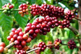 Giá cà phê hôm nay ngày 8/7: Sắc đỏ ngập tràn, cà phê tăng mạnh