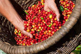 Giá cà phê hôm nay ngày 9/7: Giá cà phê tiếp tục tăng nhẹ 100 đồng/kg