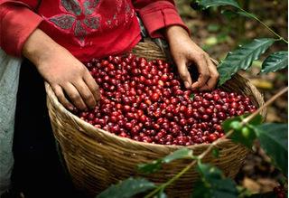 Giá cà phê hôm nay ngày 10/7: Tiếp tục tăng, dao động trong khoảng 30.800 – 31.600 đồng/kg
