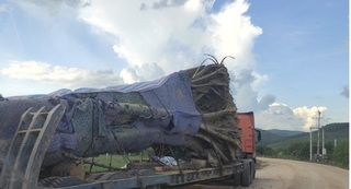 Nguồn gốc cây đa cổ thụ 'siêu khủng' ở Nghệ An