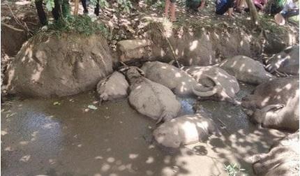 Tạm cấm chăn thả gia súc trên núi sau vụ đàn trâu chết nghi bị đầu độc