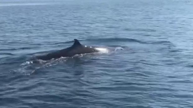 Cá voi dài 4 m bất ngờ xuất hiện ở Cù Lao Chàm