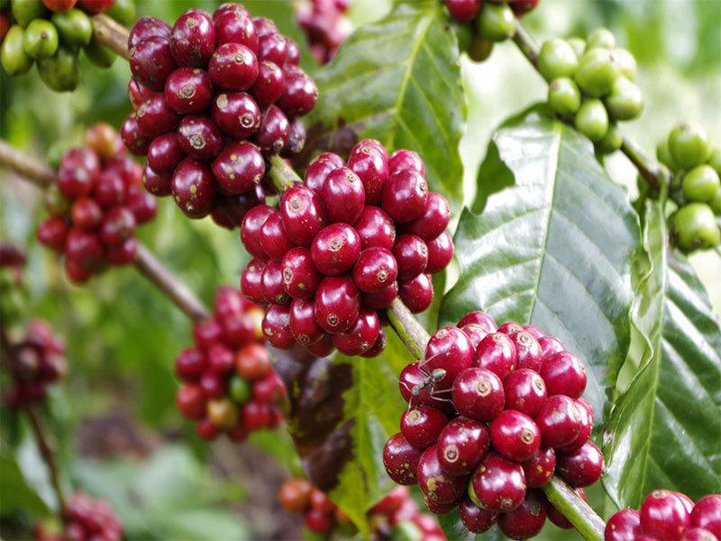 Giá cà phê hôm nay ngày 17/7: Tăng nhẹ, dao động từ 31.500 - 32.400 đồng/kg
