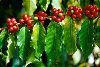 Giá cà phê hôm nay ngày 19/7: Tăng mạnh cả 2 thị trường