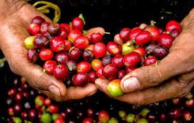 Giá cà phê hôm nay ngày 21/7: Quay đầu giảm nhẹ