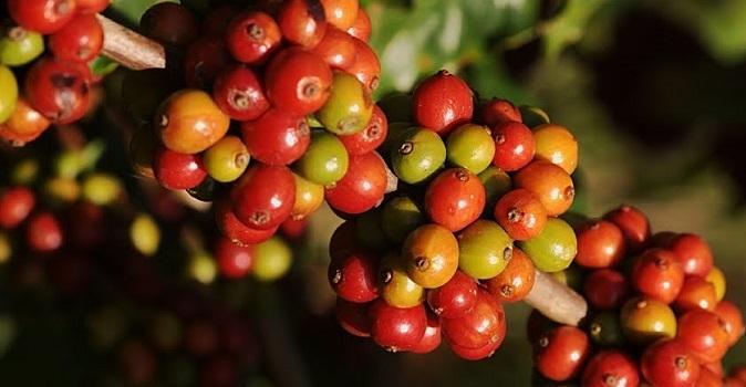 Giá cà phê hôm nay ngày 22/7: Bất ngờ lên đỉnh mới
