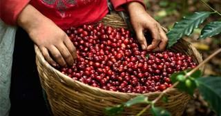 Giá cà phê hôm nay ngày 25/7: Vụt tăng trở lại sau phiên giảm ngày hôm qua