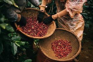 Giá cà phê hôm nay ngày 31/7: Thị trường đồng loạt giảm