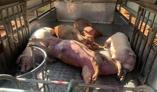 Bắt quả tang người đàn ông xin 8 con lợn chết về xẻ thịt bán