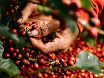 Giá cà phê hôm nay ngày 1/8: Đầu tháng khởi sắc