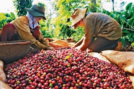Giá cà phê hôm nay ngày 2/8: Thị trường trong nước và thế giới đều tăng
