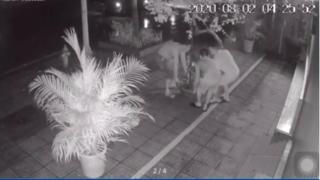 4 giờ sáng, 3 người đàn ông đi ô tô rủ nhau 'hack' chậu hoa giấy bên đường
