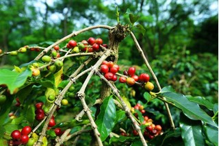 Giá cà phê hôm nay ngày 3/8: Vùng trọng điểm tăng nhẹ 100-200 đồng/kg