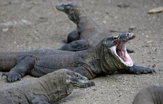 Tin tức thế giới 7/8: Indonesia hạn chế số lượng khách tham quan đảo rồng Komodo