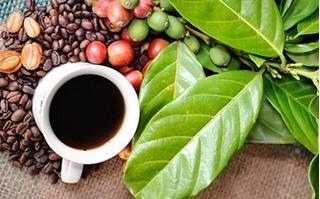 Giá cà phê hôm nay ngày 9/8: Bật tăng 200 đồng/kg phiên cuối tuần