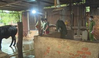 Bắt quả tang cơ sở bơm nước vào bụng bò trước khi giết mổ tại Đắk Lắk