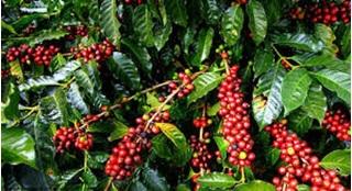 Giá cà phê hôm nay ngày 10/8: Tăng mạnh trở lại, cao nhất gần 32,7 nghìn đồng