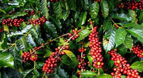 Giá cà phê hôm nay ngày 10/8: Tăng mạnh trở lại