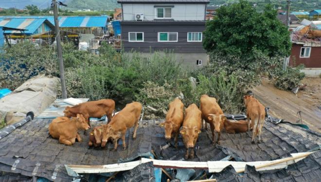 Hàn Quốc: Cả đàn bò mắc kẹt trên mái nhà do mưa lớn liên tục