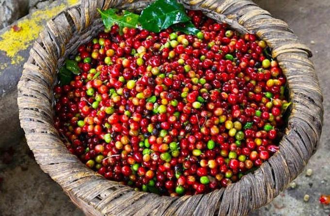 Giá cà phê hôm nay ngày 11/8: Chững lại chờ biến động mới