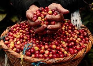 Giá cà phê hôm nay ngày 12/8: Quay đầu giảm nhẹ 100 đồng/kg