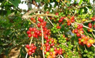 Giá cà phê hôm nay ngày 13/8: Trong nước và thế giới đảo chiều tăng nhẹ