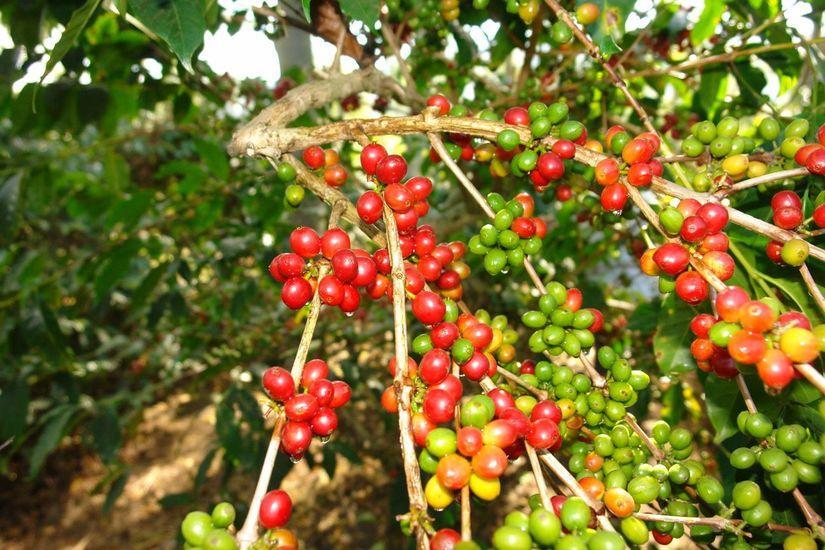 Giá cà phê hôm nay ngày 13/8, trong nước và thế giới đảo chiều tăng nhẹ
