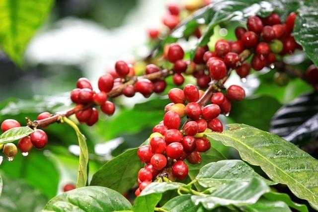 Giá cà phê hôm nay ngày 14/8, trong nước tăng thêm 500 đồng/kg