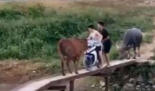Thanh niên hốt hoảng vì bị trâu, bò chặn lại trên chiếc cầu dựng tạm