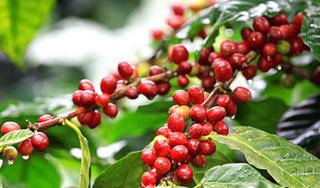 Giá cà phê hôm nay ngày 16/8: Trong nước giao dịch quanh ngưỡng 33 nghìn đồng/kg