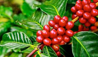 Giá cà phê hôm nay ngày 17/8: Trong nước và thế giới trên đà khởi sắc