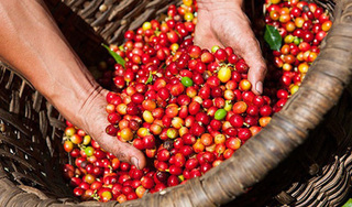 Giá cà phê hôm nay ngày 19/8: Trong nước tăng thêm 400 đồng/kg, thế giới khởi sắc