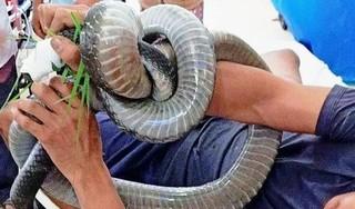 Người đàn ông bị rắn hổ mang chúa nặng 4,6kg cắn hiện giờ ra sao?