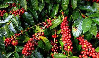 Giá cà phê hôm nay ngày 22/8: Trong nước khởi sắc, tăng thêm 300 đồng/kg