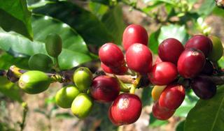 Giá cà phê hôm nay ngày 23/8: Trong nước và thế giới đi ngang