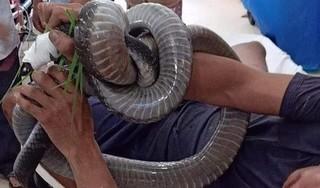 Người đàn ông bị rắn hổ mang chúa cắn đang rất nguy kịch
