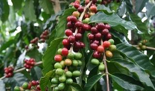 Giá cà phê hôm nay ngày 26/8: Trong nước đồng loạt tăng 200-300 đồng/kg