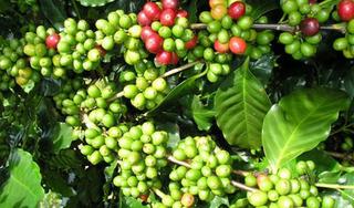 Giá cà phê hôm nay ngày 27/8: Trong nước tiến sát mốc 34.000 đồng/kg